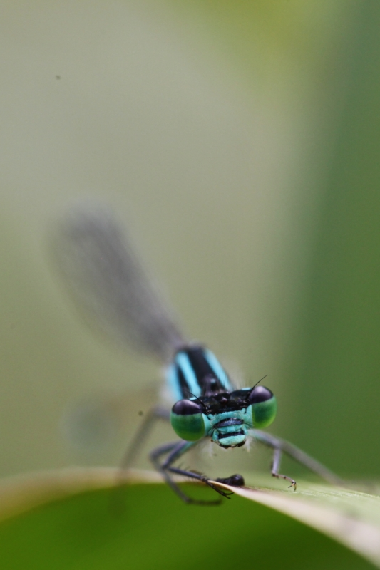 2013Agrion0003