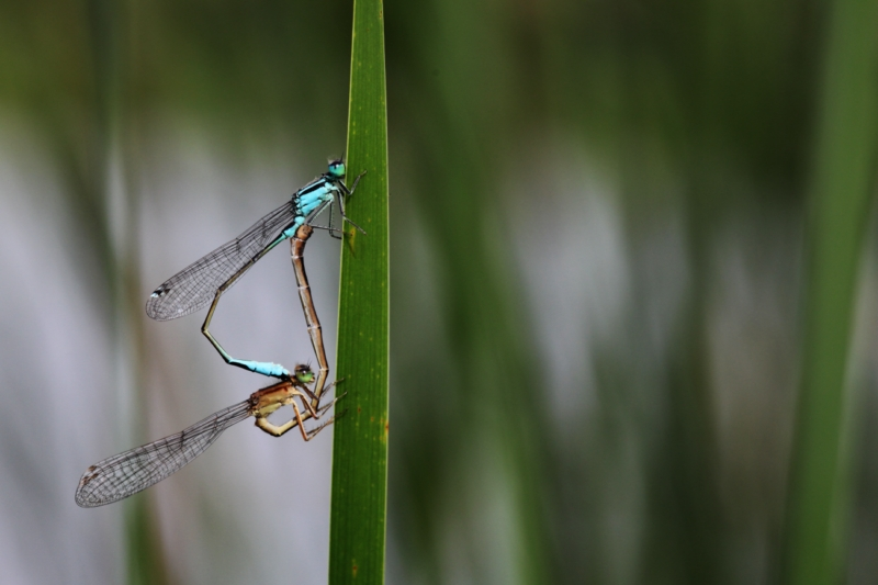 2013Agrion0005