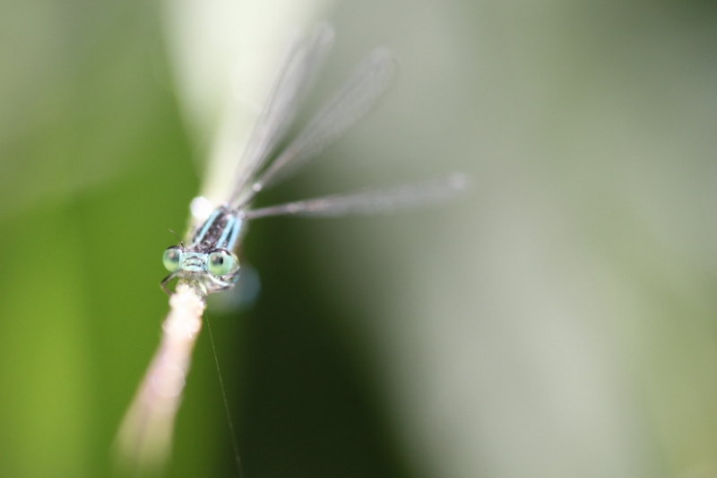 2013Agrion0010