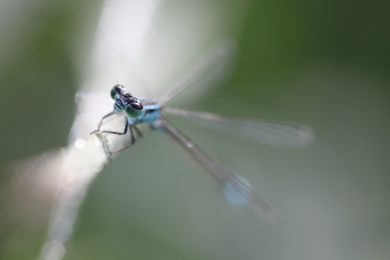 2013Agrion0012