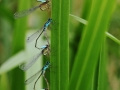 2013Agrion0004