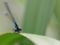 2013Agrion0007